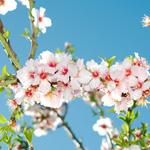 ゴッホの『花咲くアーモンドの枝』がほしい