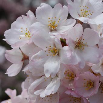例年の定例コースでお花見を/国立劇場の神代曙と小松乙女の可愛らしさを皆様に伝えたい